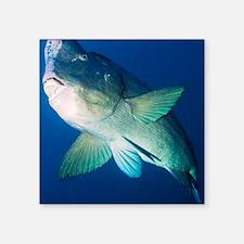 """Bumphead parrotfish Square Sticker 3"""" x 3"""""""