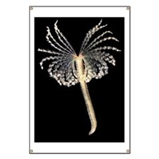Feather duster worm Banner
