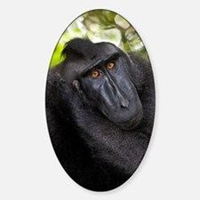 Crested black macaque Decal