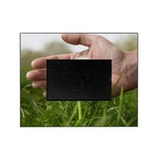 Hand protecting dandelion Picture Frame