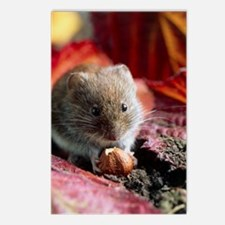 Bank vole eating a nut Postcards (Package of 8)