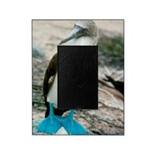 Blue-footed booby Picture Frame