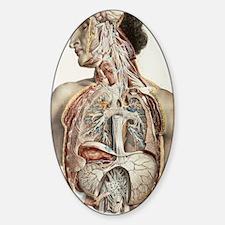 Autonomic nerves, 1844 artwork Decal