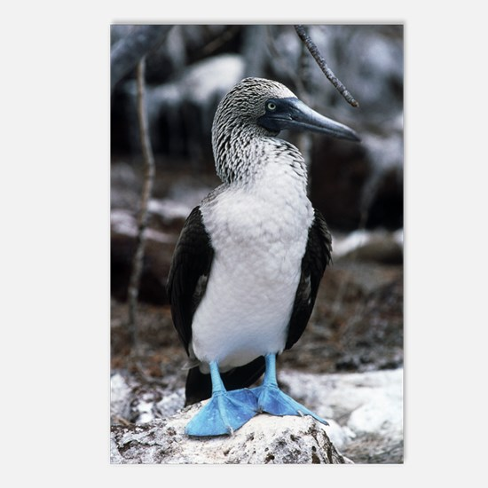 Blue-footed booby Postcards (Package of 8)