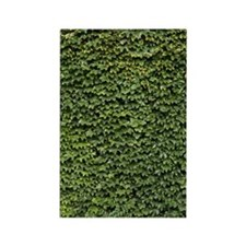 Ivy on a Wall Rectangle Magnet