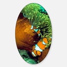 Clown anemonefish Decal