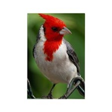 Red crested cardinal Rectangle Magnet