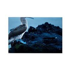 Blue footed booby at sunrise Rectangle Magnet