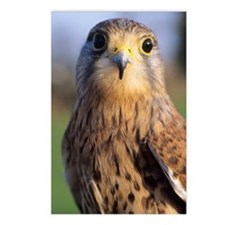 Common kestrel Postcards (Package of 8)