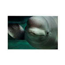 Beluga or White Whale Rectangle Magnet
