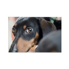 Dachshund Stare Rectangle Magnet