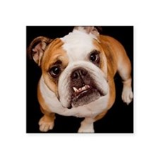 "Bulldog smile on black back Square Sticker 3"" x 3"""