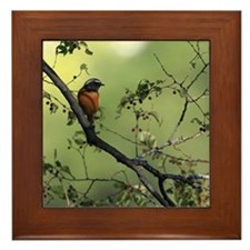 Daurian Redstart Framed Tile