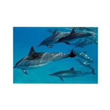 A pod of playful spinner dolphins Rectangle Magnet
