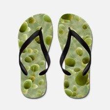 Chlamydomonas sp. algae, SEM Flip Flops
