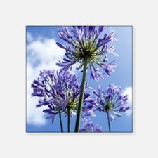 """African lilies (Agapanthus  Square Sticker 3"""" x 3"""""""