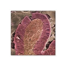 "Small intestine villus, SEM Square Sticker 3"" x 3"""