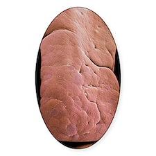 Small intestine villus, SEM Decal