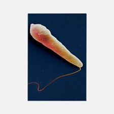 Euglena protozoan, SEM Rectangle Magnet