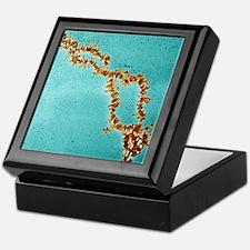 Lampbrush chromosomes, TEM Keepsake Box