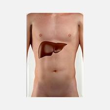 Healthy liver, artwork Rectangle Magnet