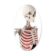 Human anatomy, artwork Oval Car Magnet