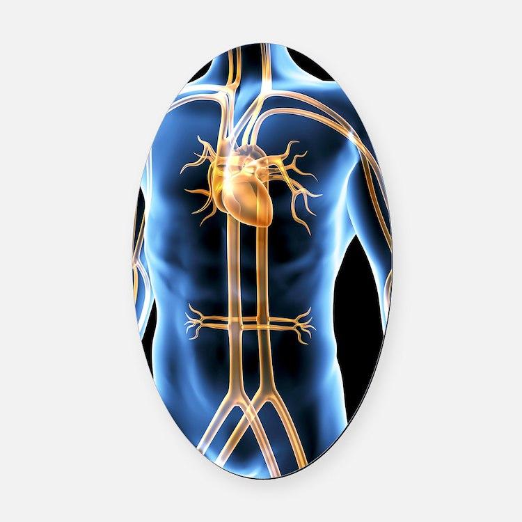 Human cardiovascular system, artwo Oval Car Magnet
