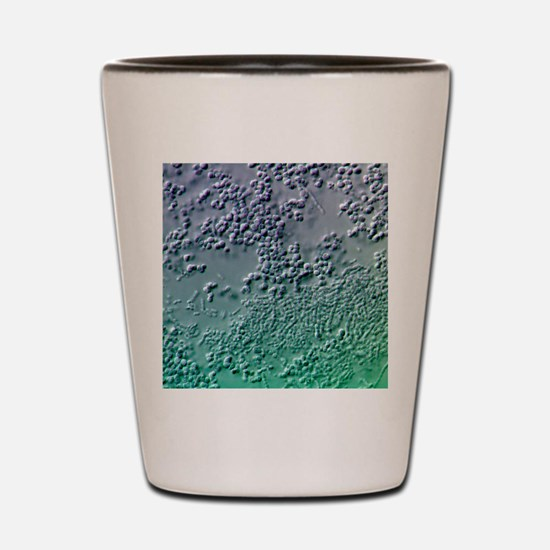 Bacterial biofilm, light micrograph Shot Glass