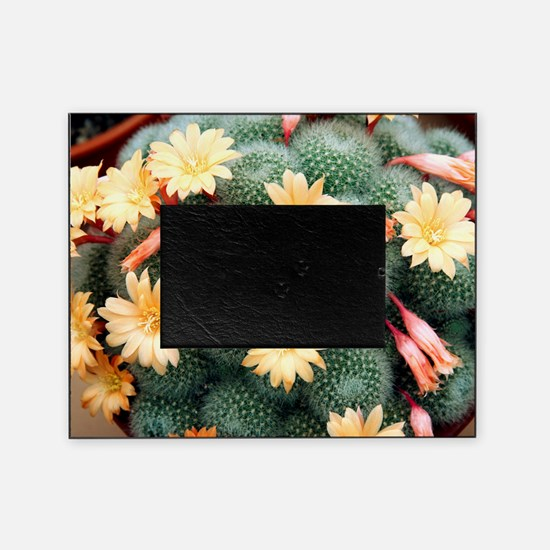 Aylostera 'Apricot Ice' Picture Frame