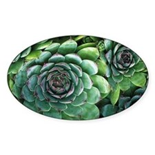 'Hens and chicks' succulents Decal