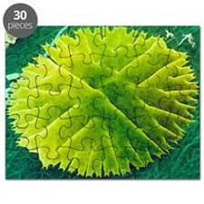 Green alga, Micrasterias Puzzle