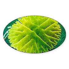 Green alga, Micrasterias Decal
