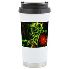 Immunofluorescent LM of Travel Mug