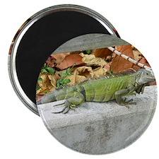 Caribbean Iguana Magnet
