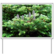 Korean fir (Abies koreana) Yard Sign