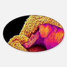 Small intestine, SEM Decal