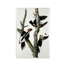 Ivory Billed Woodpeckers Rectangle Magnet