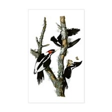 Ivory Billed Woodpeckers Decal