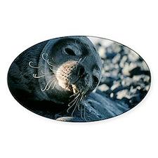 Basking Weddell seal Decal