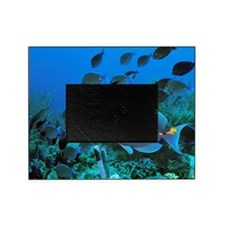 Blue tang surgeonfish Picture Frame