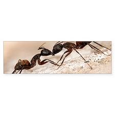 Carpenter ants fighting Bumper Sticker