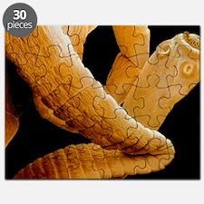 Coloured SEM of a tapeworm, Taenia sp Puzzle