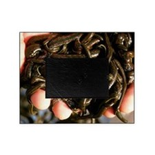Cupped hands holding medicinal leech Picture Frame