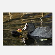 Adult coot feeding its ch Postcards (Package of 8)