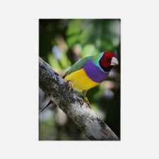 Lady Gouldian Finch Rectangle Magnet