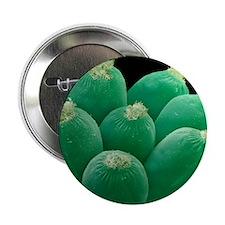 """Ciliate protozoans, SEM 2.25"""" Button"""