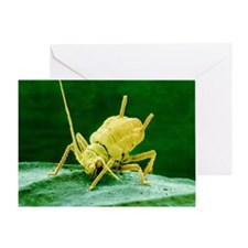 Coloured SEM of Rose aphid nymph fee Greeting Card