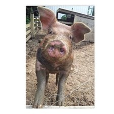 Funny Muddy Red Pig Postcards (Package of 8)