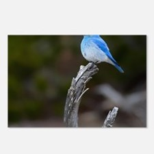Mountain Bluebird Postcards (Package of 8)