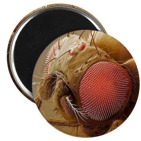 Fruit fly head, SEM Magnet